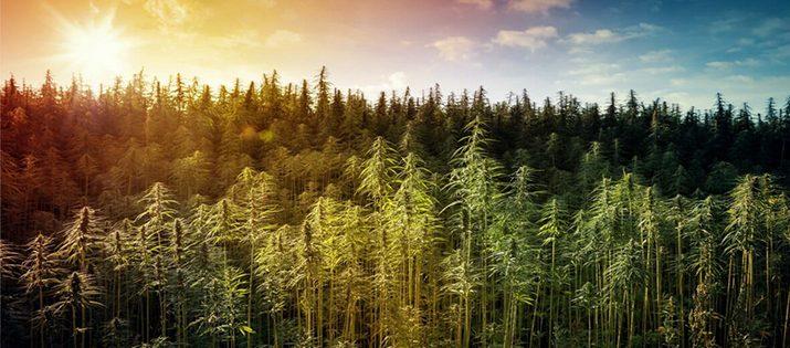 613 Partners, acompaña a cultivadores de cannabis medicinal en el país